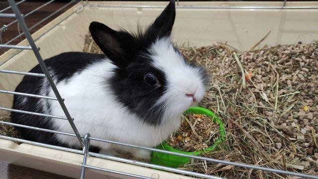 Oswojony niebieskooki królik z klatką