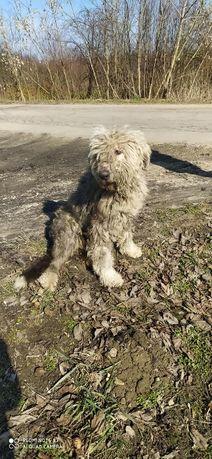 Duży ,zaniedbany pies w Piorowicach ( przyczółek ) w typie jużaka