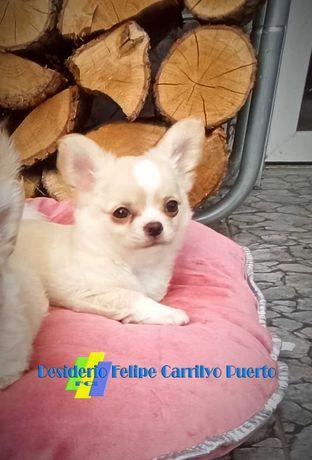 Chihuahua długowłosy.Piękny przedstawiciel rasy.ZKwP