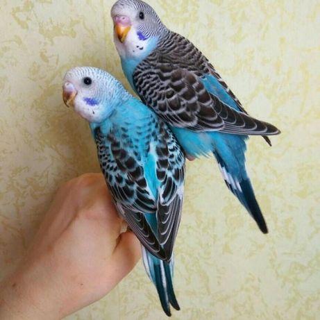 Волнистые попугайчики молоденькие ,говорящие.