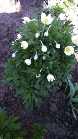 Zawilec-bylina ogrodowa,roślina białe kwiaty -ostatnie sadzonki