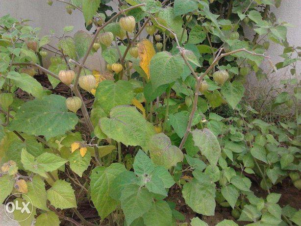 Planta Physalis