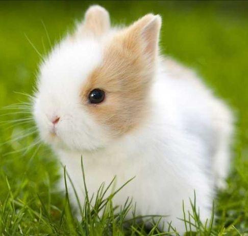 KIT completo coelhos anões minitoy e mini holandês muito fofos