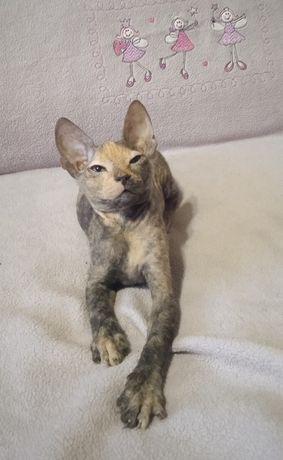Донской сфинкс, котенок