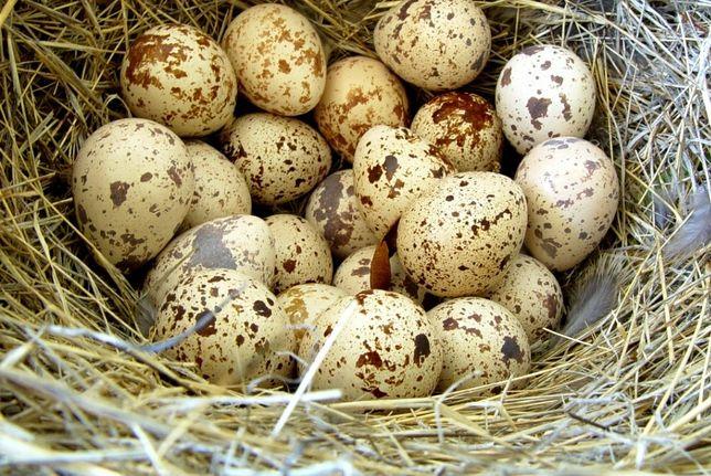 перепелині яйця харчові!