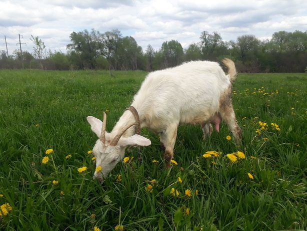 Молода коза та козенята