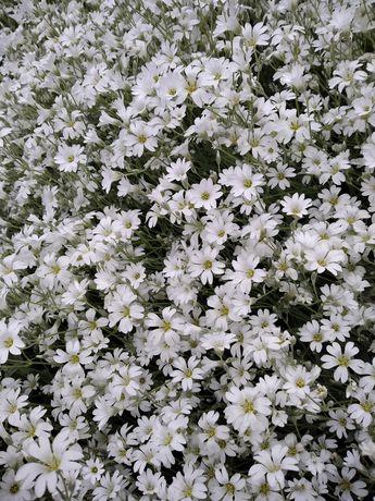 Квіти багаторічні