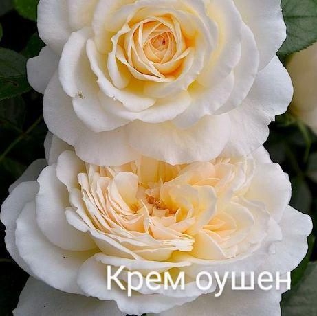 Саджанці рози! Опт та розніца