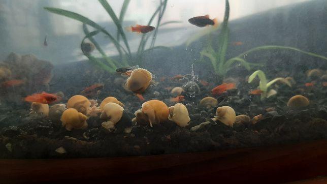 Продам улиток аквариумных маленькая