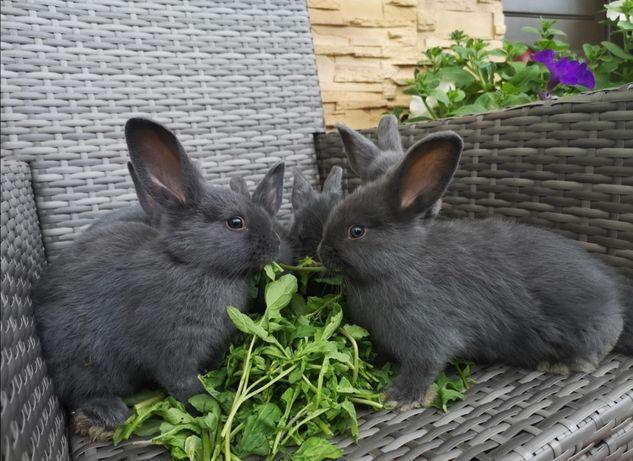 Młode króliki wiedeńskie niebieskie WN królik wiedeński niebieski