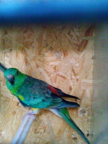 Продам певчих попугаев