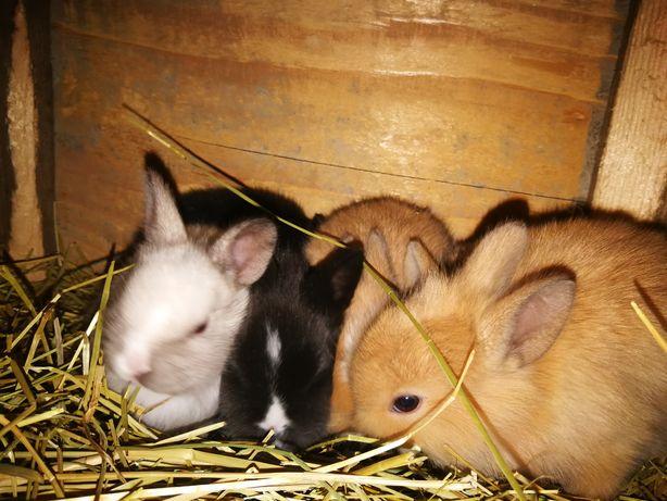 Młode króliki miniaturka