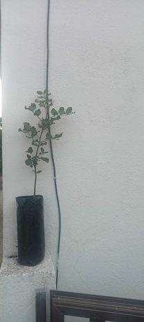 Alfarrobeiras para plantar