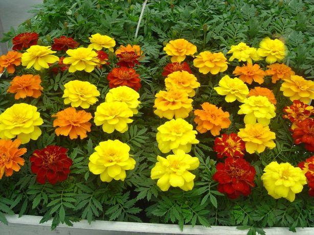 Бархатцы (чернобривцы) красивейшие неприхотливые цветы.