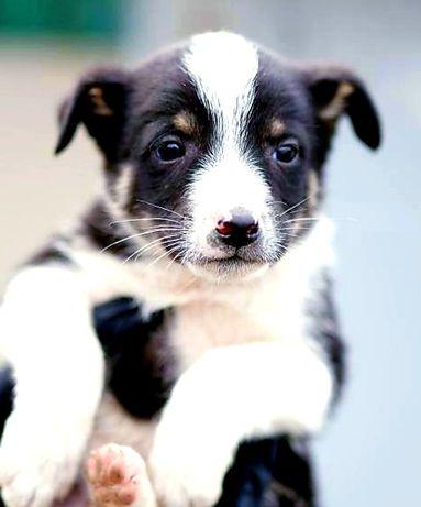 Очаровательный щенок, около 1.5 месяца, в самые добрые ручки