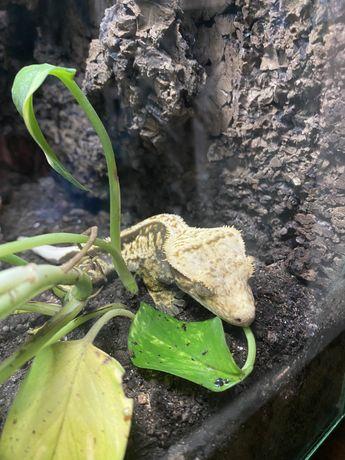 Gekon orzęsiony z terrarium