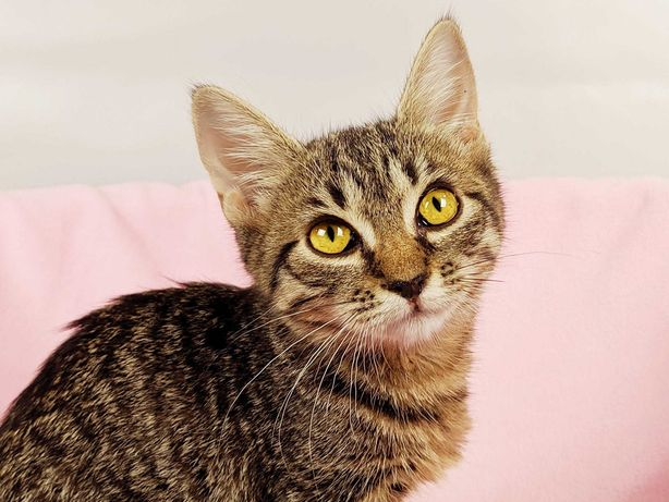 Котенок Ариша (2 месяца),  нежной кошечке малышке нужен дом