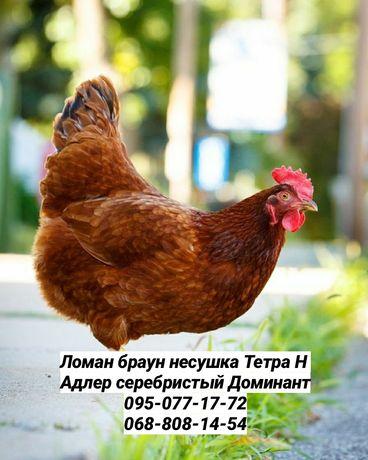 Куры цыплята доминант Ломан Браун бройлер птица доставка