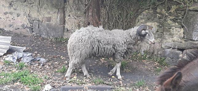 Vende se carneiro