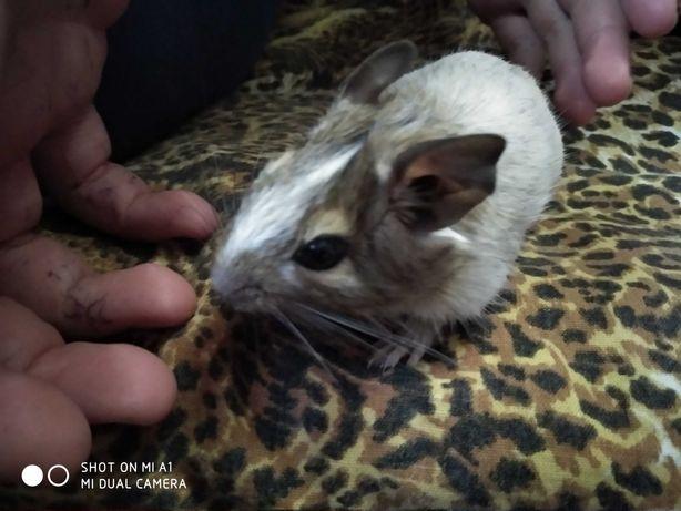 Белка Дегу белый 2 месяца мальчик