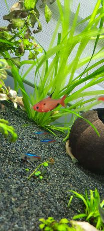 Bystrzyk barwny rybka akwariowa 2 sztuki