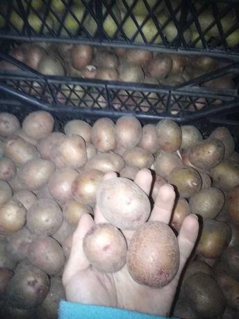 Картопля посадкова сорту повінь