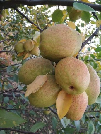 Продам саженцы яблони, груши оптом и в розницу