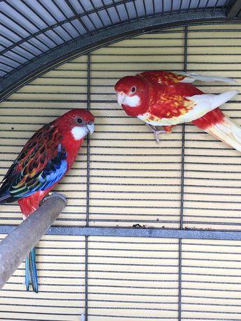 Papugi Ninfy