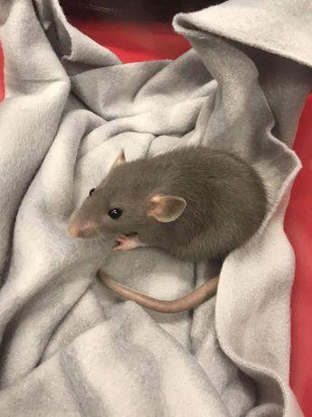 Szczurek american blue dumbo dziewczynka ur 12.03.21