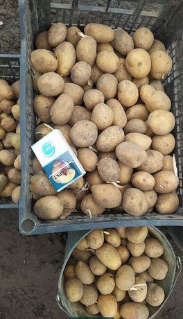 Продам посадочный картофель,картошку