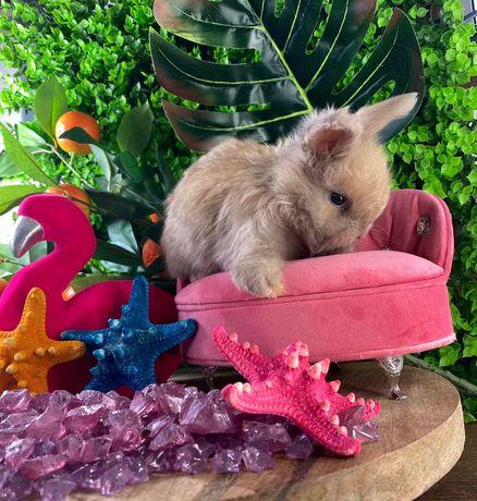 Królik miniaturowy króliki karzełki mini lop angora yorczek na już