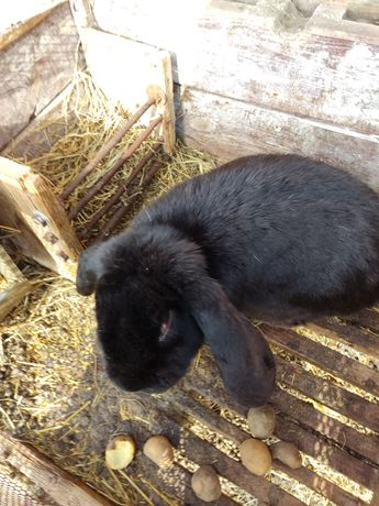 Królik samiec Baran Francuski sprzedam króliki