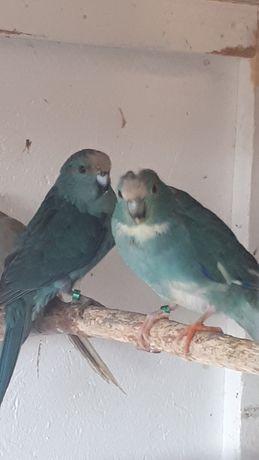 papugi faliste 2020
