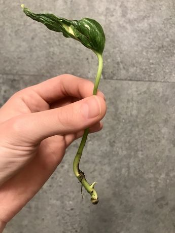 Epipremnum javelin variegata