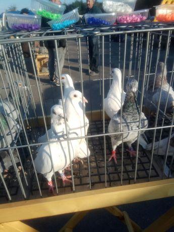 Спортивні голуби 2021 року