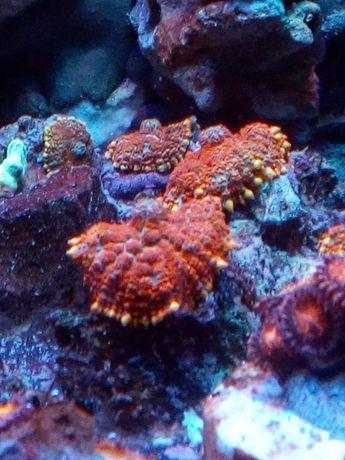 Akwarium morskie rhodactis superman i ichota green