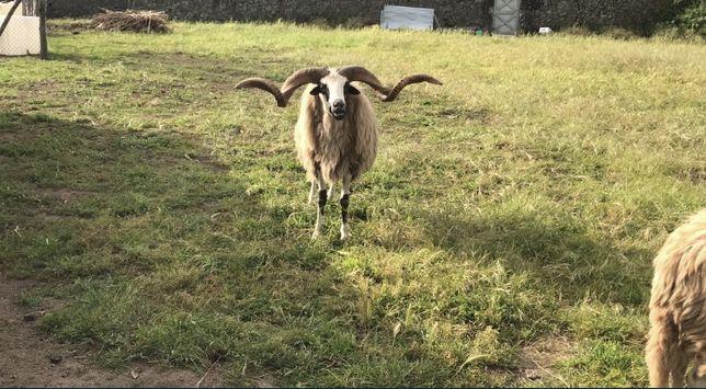 Ovelhas churra algarvia
