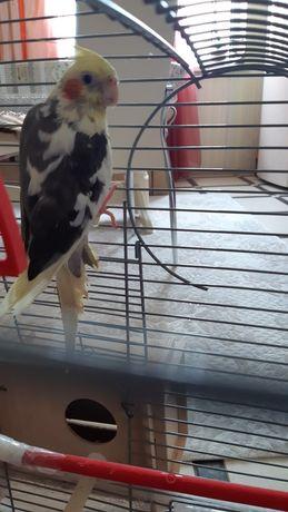 Продам попугая, вид Корелла
