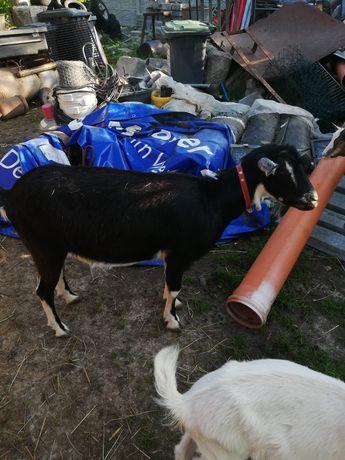 Sprzedam roczną kozę