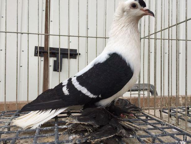 Gołębie ozdobne czajki saksońskie