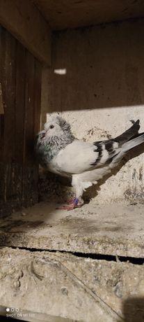 Sprzedam gołębia garłacza koroniastego górnośląskiego samca