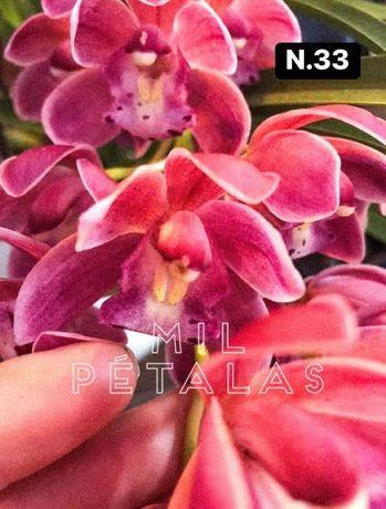 Orquídeas de colecao com 3/4 bolbos