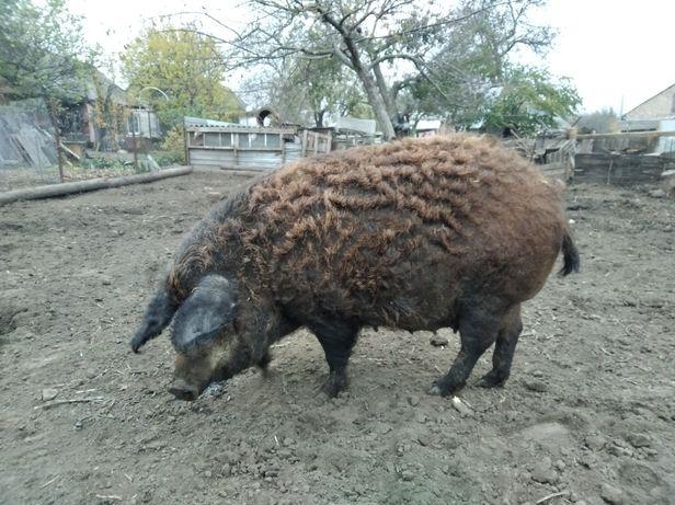 Продам свиней, різного віку і вагою