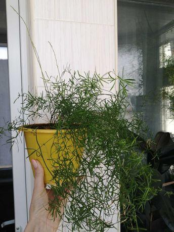 Аспарагус Шпренгера (густоцветковый).