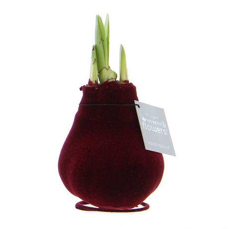 Amarylis hippeastrum cebule kwiatowe w wosku