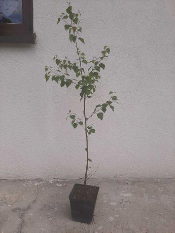 brzoza sadzonki w donicy