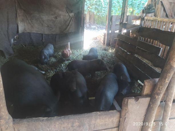 В'єтнамські свині, поросята, кнур,