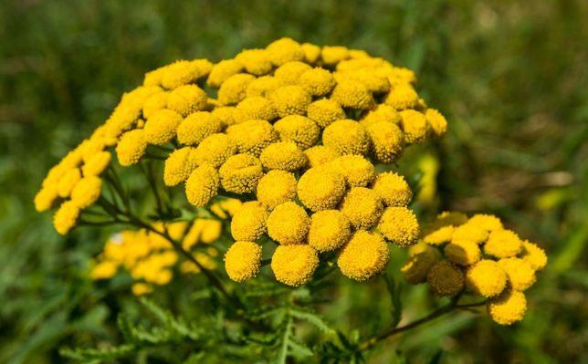 Kwiat wrotycz susz , ziele