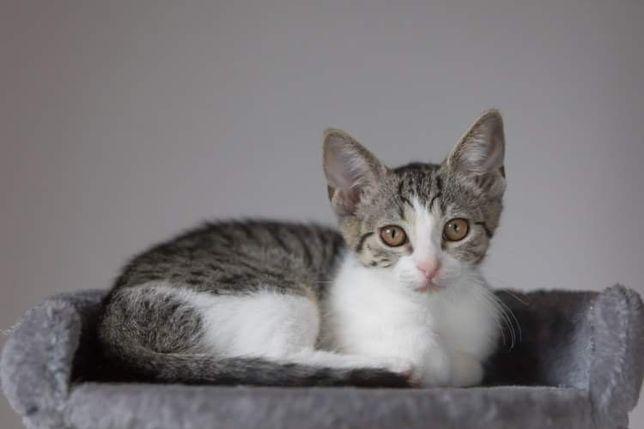 4 miesieczna kotka Pięknooka do adopcji sama lub z rodzenstwem