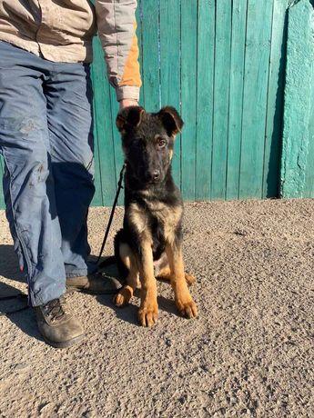 Продається 3-х місячний кобель німецької вівчарки від поліцейського пс